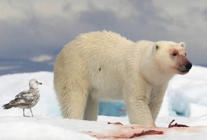 Polar Bear and a fearless bird