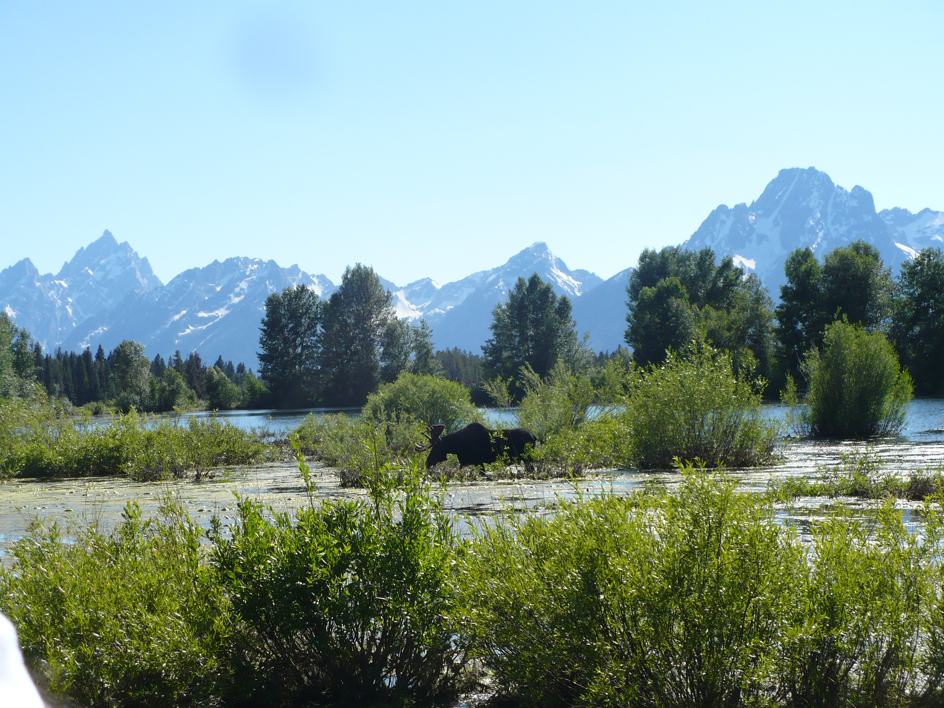 A magnificent view of the Tetons with the moose in the foreground. Photo: Nurin Merchant. Copyright.