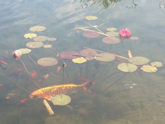 School of fish found in the pond. The large one is approximately six years old. Photo: Nurin Merchant. Copyright.