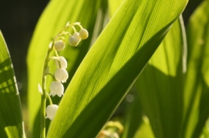 Lily of the vallley. Istockphoto. Copyright.