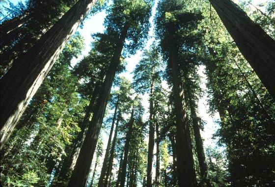 0240fecd-155d-4519-3e8f3d63e3d40665original_redwood trees