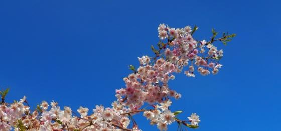 Weeping Cherry flowers at Aga Khan Park