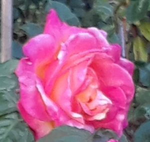 Wilting rose. Photo: Rashida Tejani for Farah's story Elizabeth