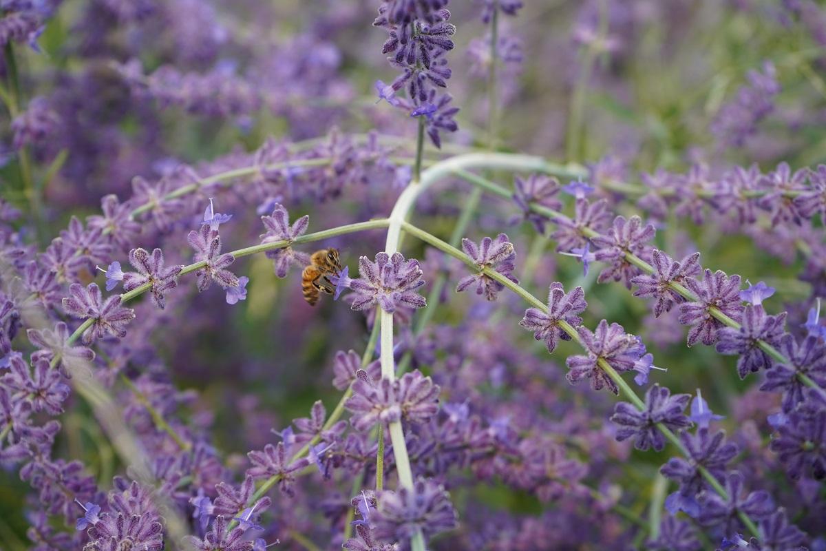 Aga Khan Park Russian Sage Bee Pollinating