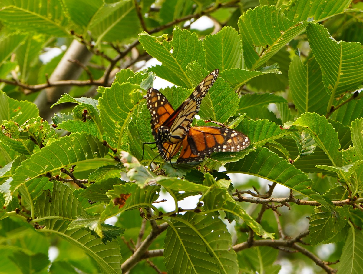 monarch Butterfly Aga Khan Park
