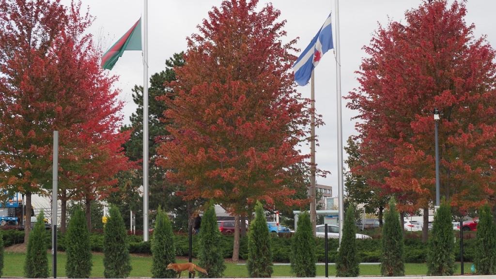 Fall colours, the Ismaili flag and a fox at Aga Khan Park.
